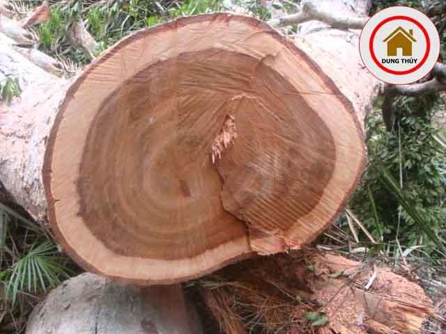 Bàn ghế phòng khách gỗ xoan đào có bị mối mọt không?
